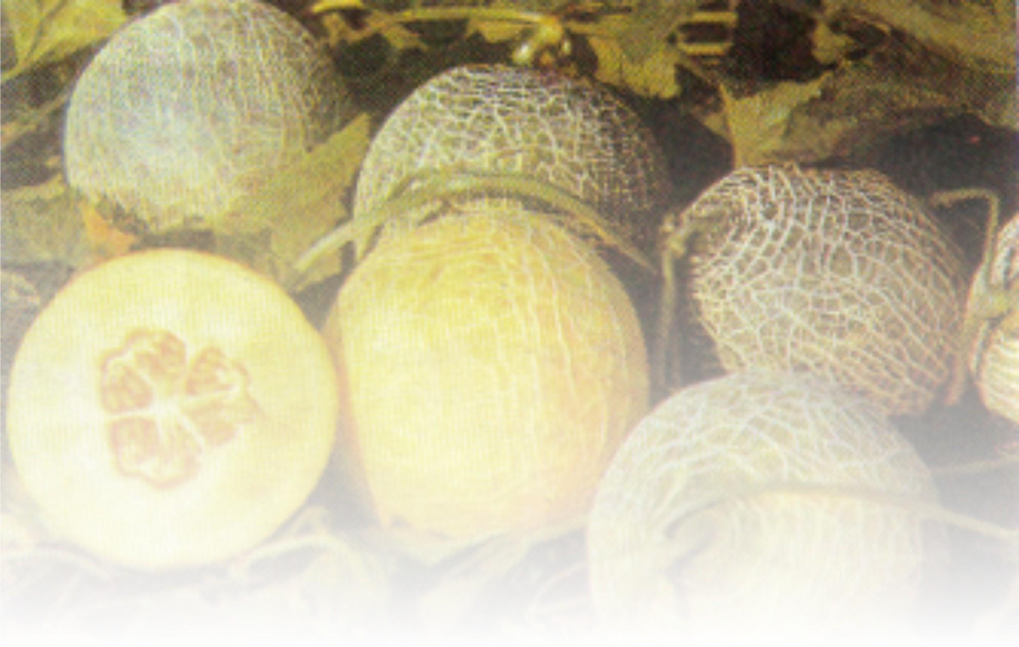 Artikel Tentang Agribisnis Agrobisnisinfocom Agribisnis And Herbal Info Artikel Tentang Agribisnis Melon