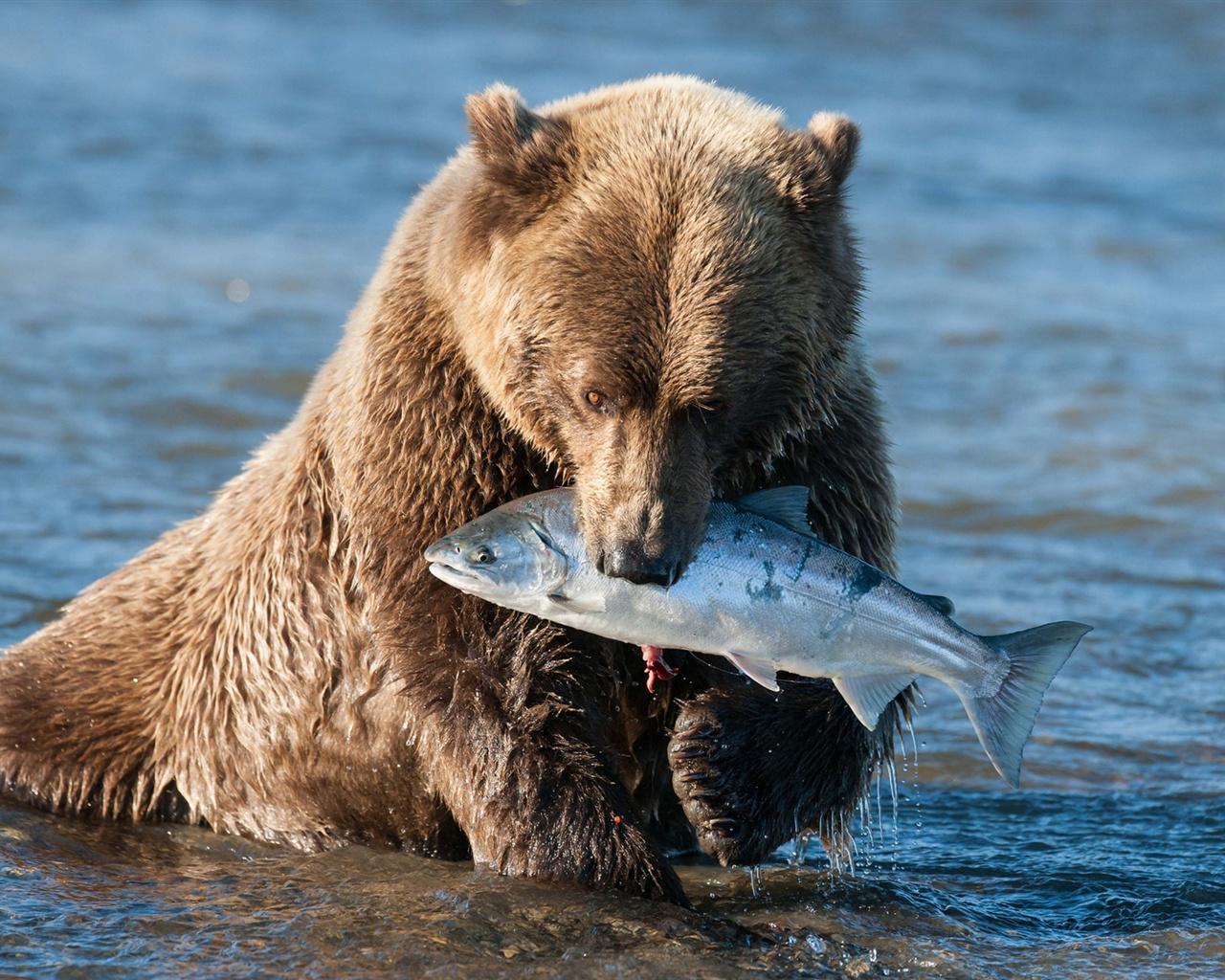 Cute Fish Wallpaper Hd Wallpaper Brown Bear Catching A Fish 1920x1200 Hd Picture