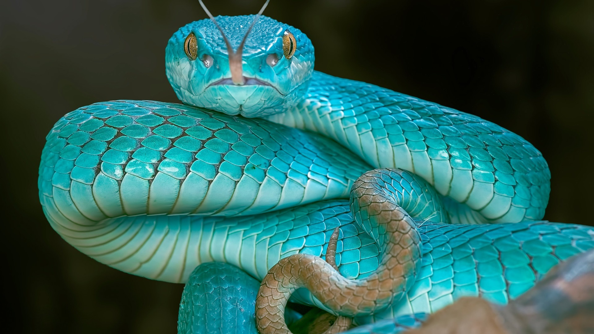 Snake Eyes Hd Wallpapers Wallpaper Blue Snake Viper Eyes 1920x1200 Hd Picture Image