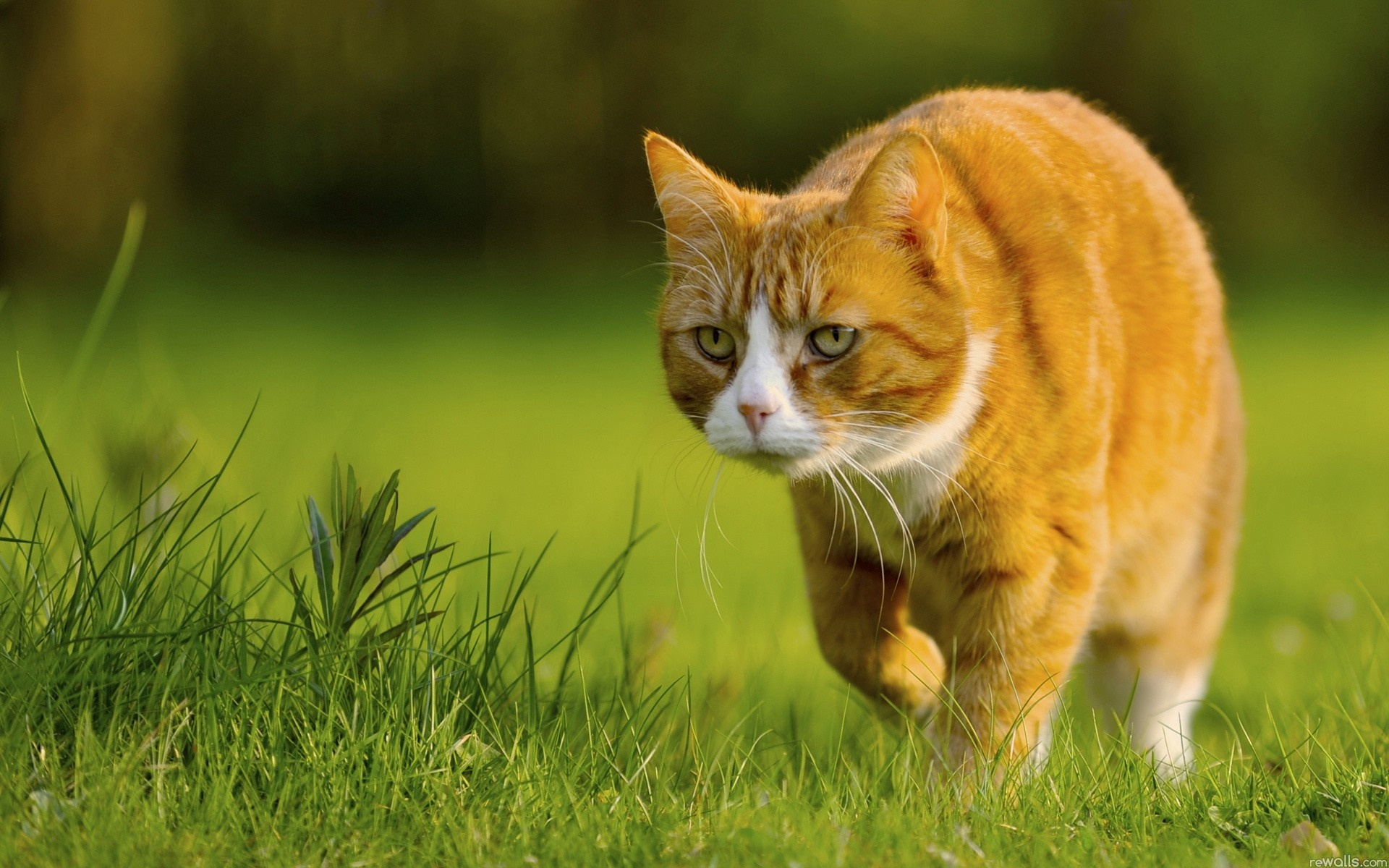 Cute Love Wallpapers Hd Full Size Download Wallpaper 1920x1200 Yellow Cat Preying Green