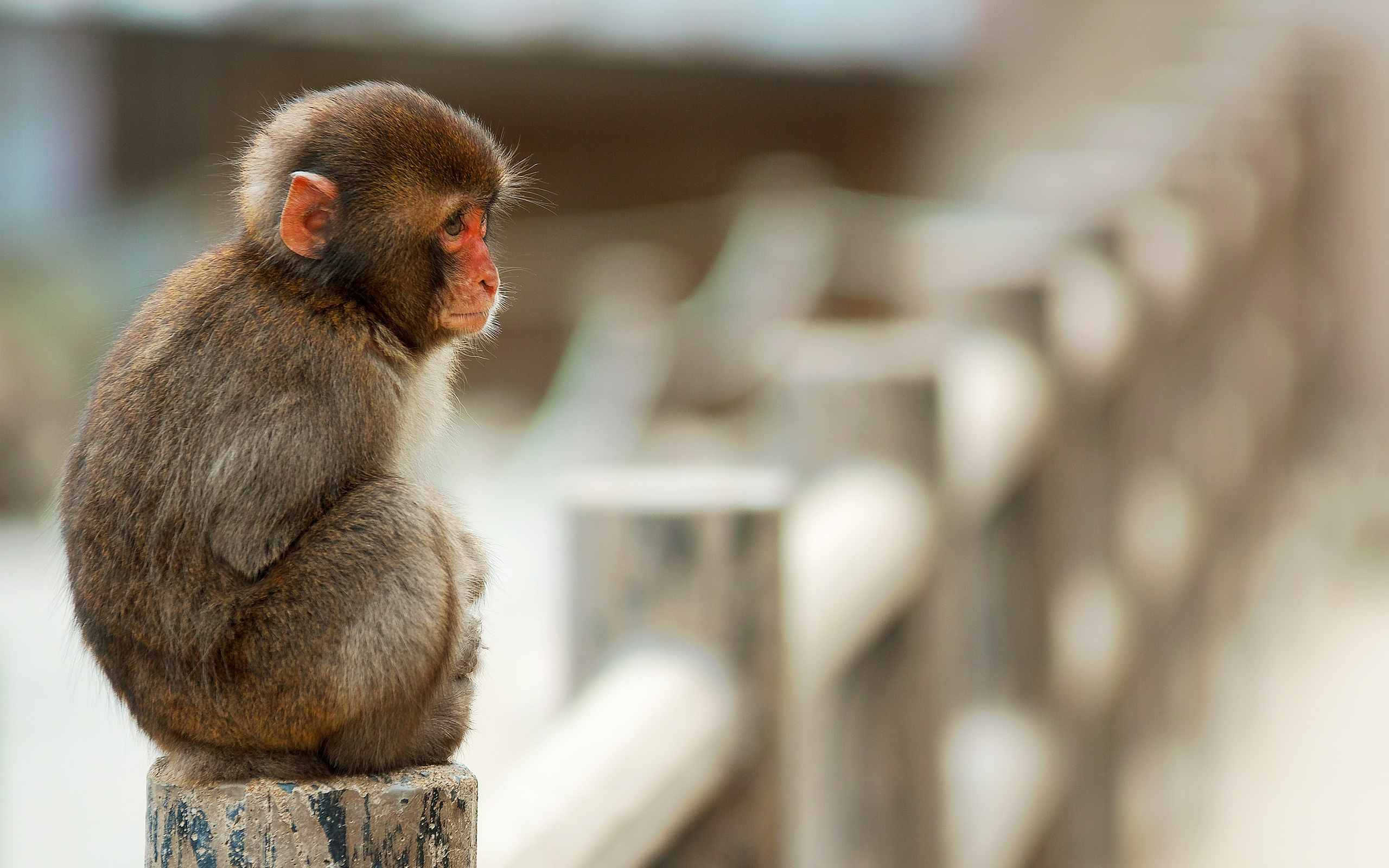 Iphone 5s Beach Wallpaper Wallpaper Macaque Monkey Sitting On Stone Fence 2560x1600