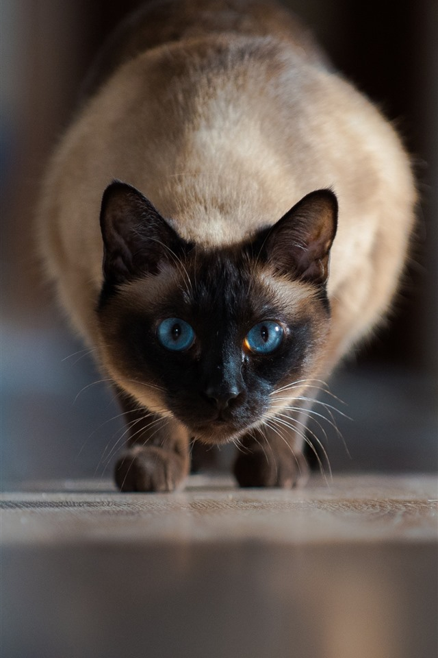 Cute Pink Owl Wallpaper For Iphone Wallpaper Siamese Cat Front View Blue Eyes 2880x1800 Hd