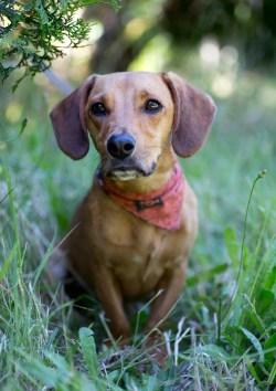 Fun Sale Beagle Dachshund Mix Personality Beagle Dachshund Mix Personality Dog Breed Information Dachshund Husky Mix Dog Dachshund Husky Mix Puppies