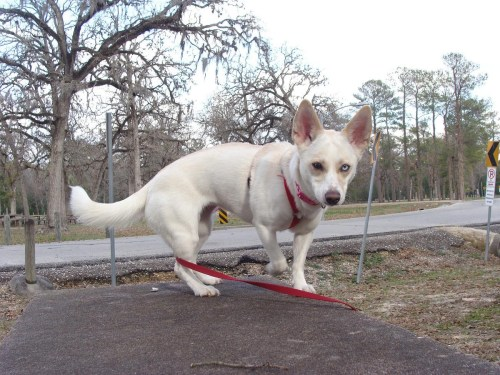 Medium Of Chihuahua Husky Mix