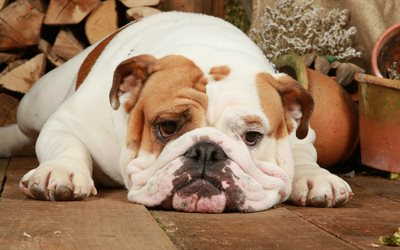 Wallpaper Perritos 3d Download Wallpapers 4k English Bulldog Funny Dog Cute