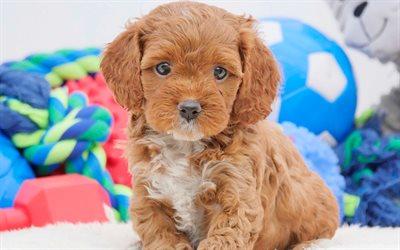 3d Puppy Wallpaper Download Wallpapers Cavoodle Small Brown Puppy 4k Cute