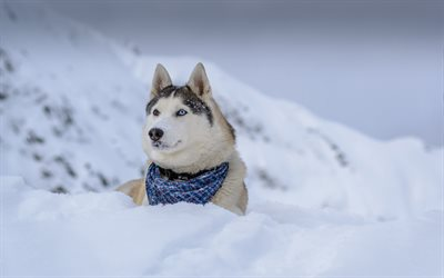 Cute Dogs Wallpapers With Quotes Download Wallpapers Siberian Husky 4k Winter Dogs Cute