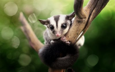 Desktop Wallpaper Hd 3d Full Screen Baby Download Wallpapers Petaurus Breviceps Sugar Glider
