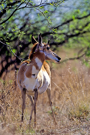 Pronghorn in Buenos Aires National Wildlife Refuge, Arizona