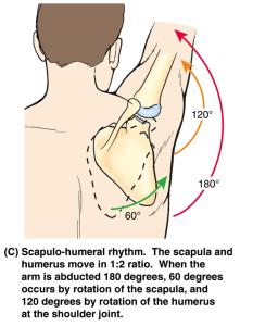 scapulohumeral rhythm