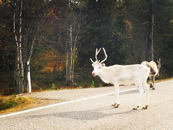 white-reindeer
