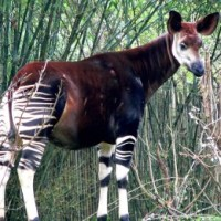 Diorama at the old Melbourne Museum - the Okapi (genesis of a poem)