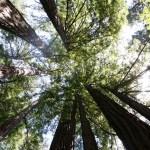 Les séquoias géants de Muir Woods ou le ravissement des sens
