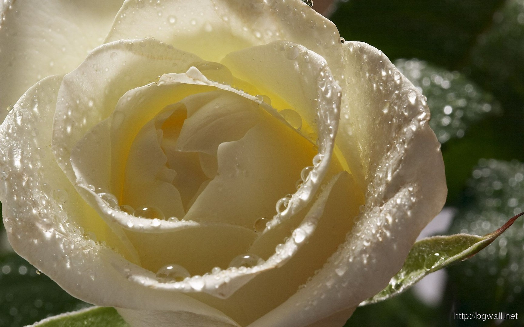 3d Friendship Wallpapers Free Download Download Wet White Rose Wallpaper Background Wallpaper Hd