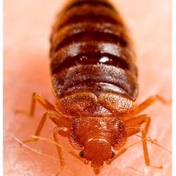 bedbugs 5 - Copy - Copy - Copy - Copy - Copy - Copy