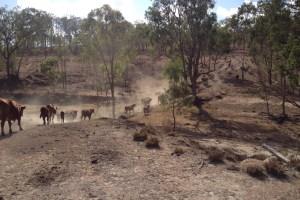 Mustering Carolyn's cattle