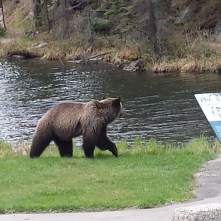 Grizzly bears at the border