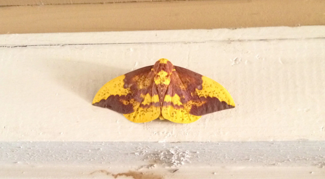 Jesus Appears on Spotted Moth in Central Texas