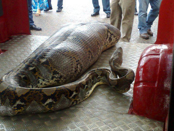 Man Gets Eaten Live By Giant Anaconda