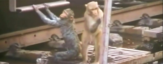 Monkey Resuscitates Dying Friend