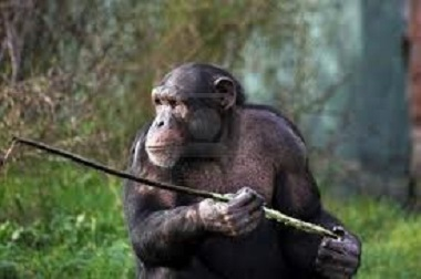 Chimps Caught Using Spears to Hunt, Are They Evolving Too Far?