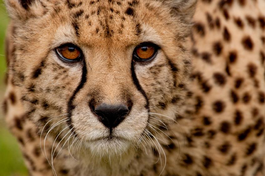 Black Cat Eyes Wallpaper Threats To Cheetahs