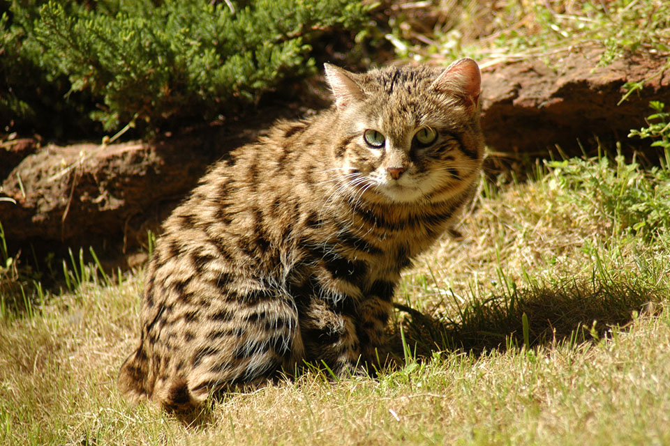 Black Footed Cat Facts Big Cat Rescue