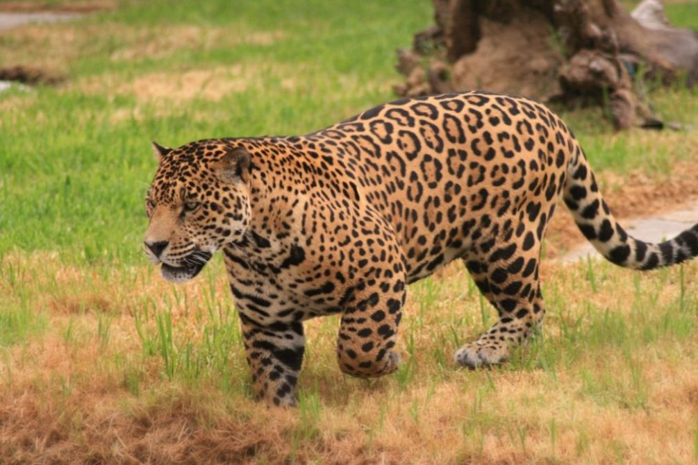 Jaguar Facts Big Cat Rescue