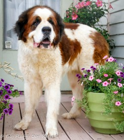 Fanciful Adopted Bobo Big Fluffy Dog Rescue Big Fluffy Dogs That Dont Shed Big Fluffy Doggo