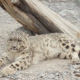 Loli the Snow Leopard (KKH, Pakistan)