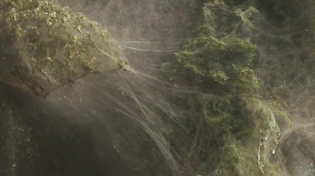 web03 Нашествие пауков на деревья в Пакистане
