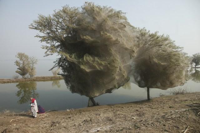 web08 Нашествие пауков на деревья в Пакистане
