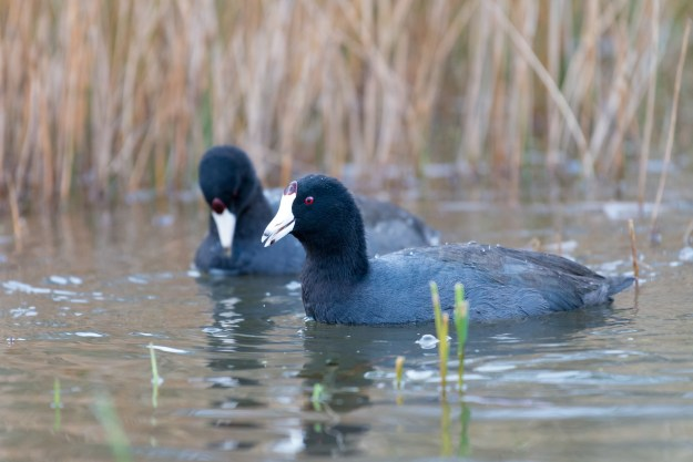American Coots casually scan for snacks in a Kachina Village pond. This photo was made with a Nikon D610 and 200-500mm f/5.6E at 500mm, f/5.6, ISO 3600, 1/1000-second. It has been cropped and processed to taste in Adobe Lightroom. (Bill Ferris)