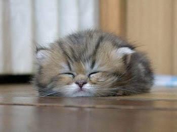 Kucing bobo