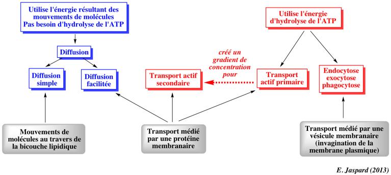 La Diffrence Entre Un Doctorat Et Dun Doctorat Transports Membranaires Membrane Bioenergetique
