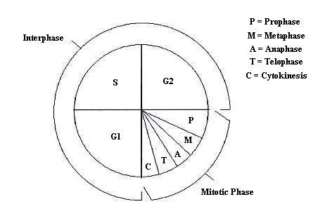 BIOEXCEL 190 - Mitosis  Meiosis KEY