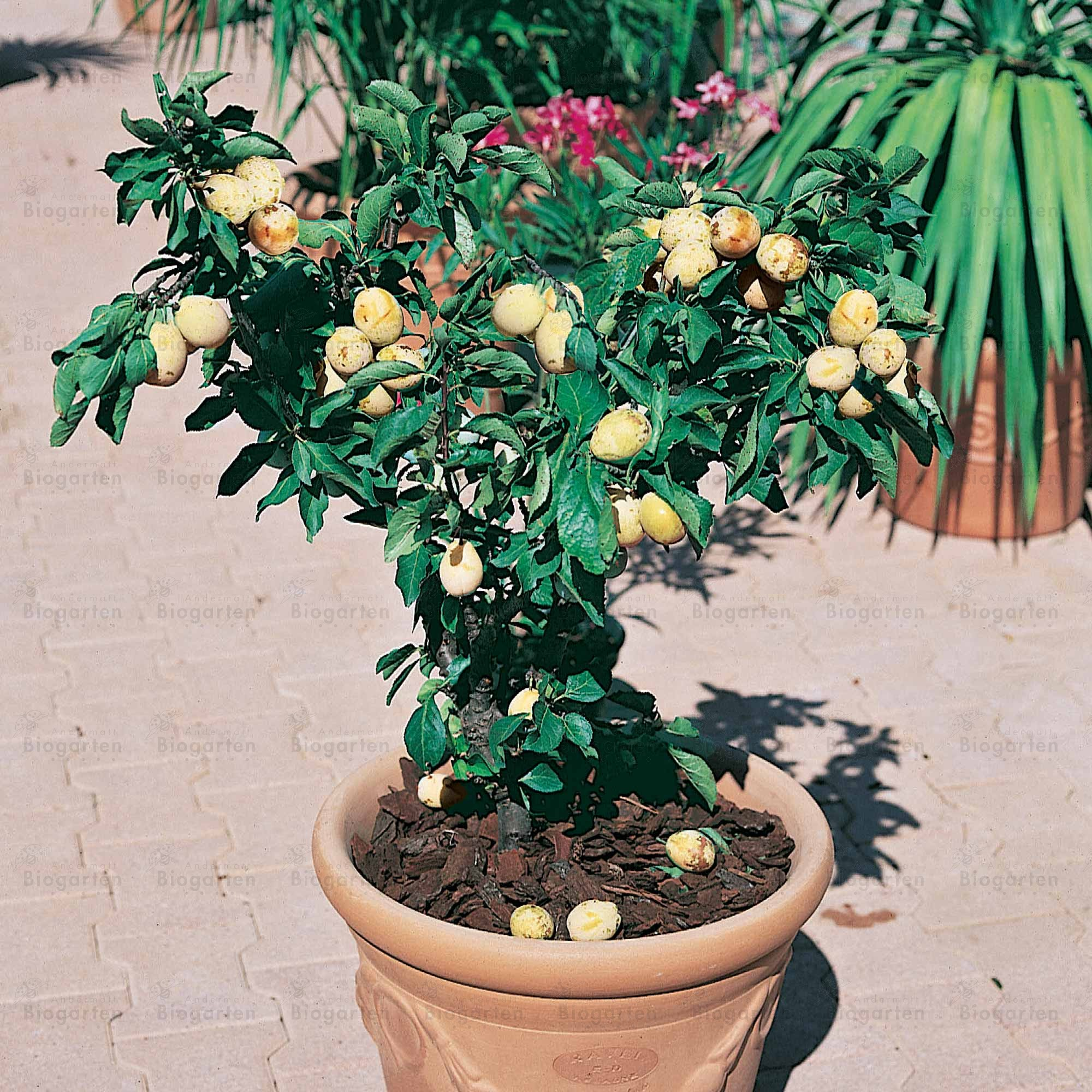 Arbre Fruitier En Pot Pour Terrasse Prunier Nain Goldust Fruits Et Baies Plantes