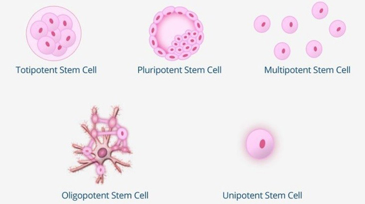 Do You Know the 5 Types of Stem Cells? BioInformant