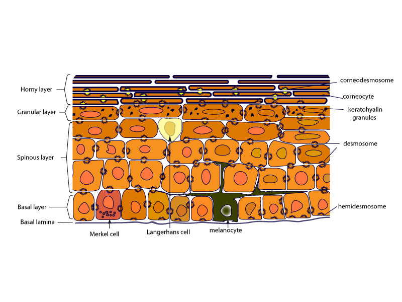 The epidermis - Biologie de la peau