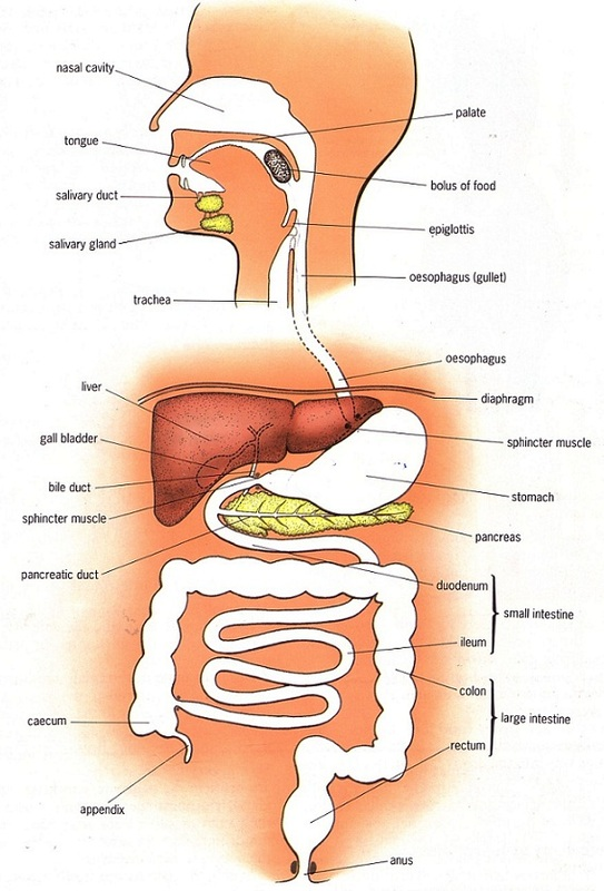 Human alimentary canal - Biology Notes for IGCSE 2014