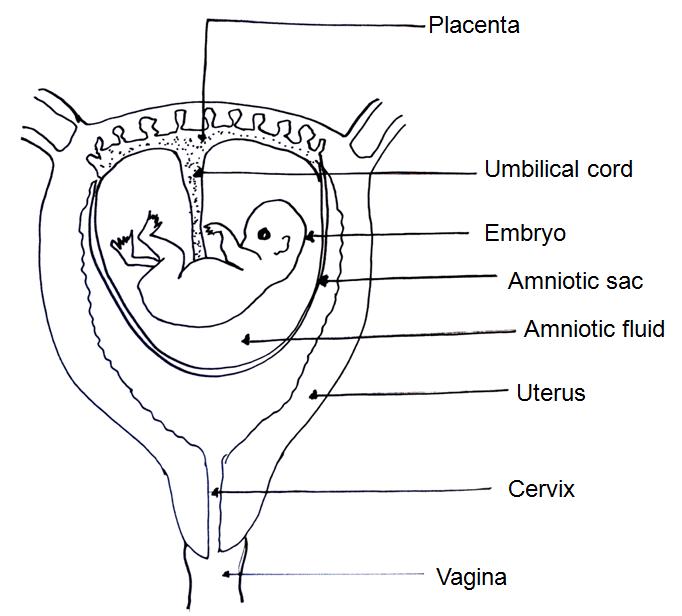 smoking pregnant woman diagram