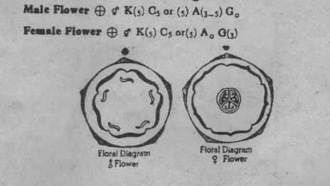 floral diagram of pumpkin