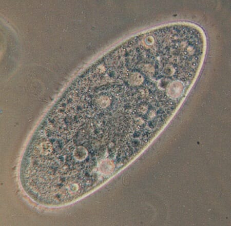 Protist - Definition, Types and Examples Biology Dictionary - protista examples