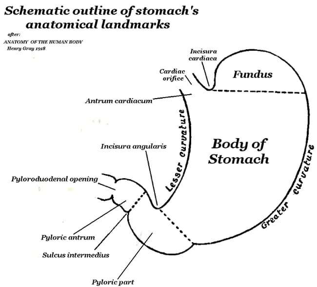 diagram of stomach and body
