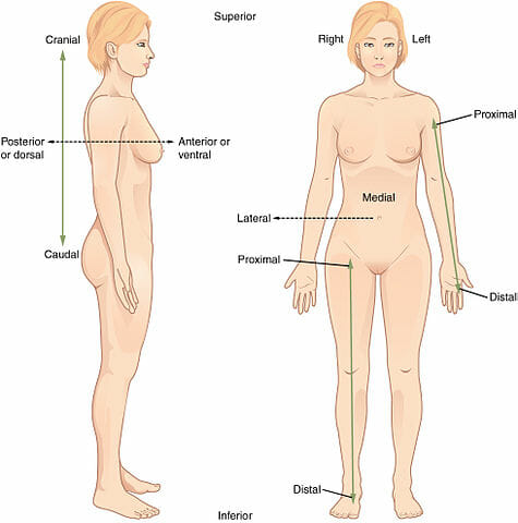 Anatomical Position - Definition and Function Biology Dictionary - anatomical position