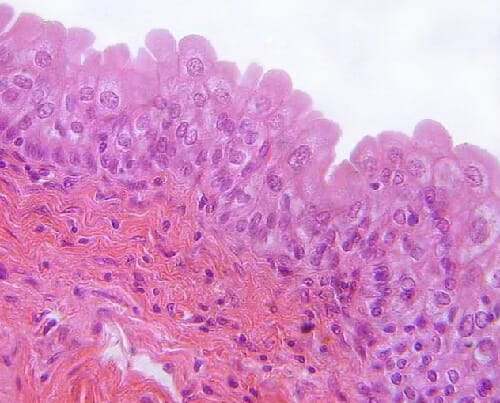 Transitional Epithelium - Definition and Function Biology Dictionary