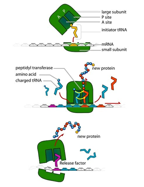Ribosome - Definition, Function and Structure Biology Dictionary
