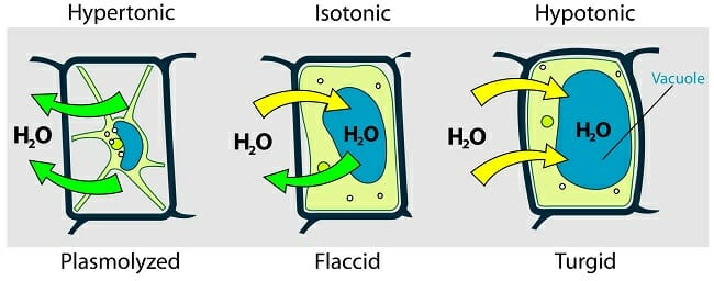 Hypotonic Solution - Definition and Examples Biology Dictionary