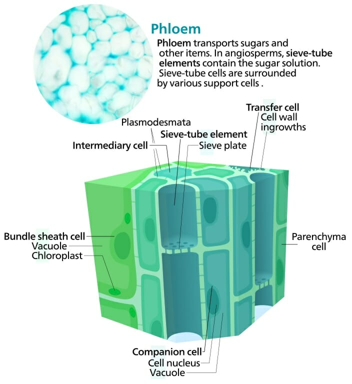 Phloem - Definition, Function and Structure Biology Dictionary
