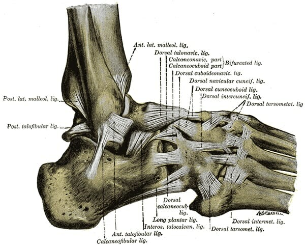 Foot (Anatomy) Bones, Ligaments, Muscles, Tendons, Arches and Skin